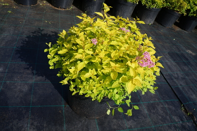 Спирея японская (Spiraea japonica `Golden Princess`) С7,5