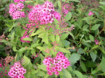 Спирея японская (Spiraea japonica `Anthony Waterer`) С3