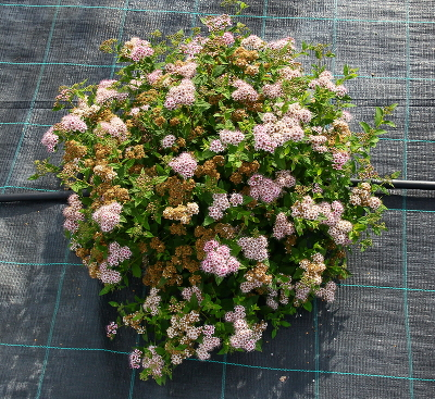 Спирея японская (Spiraea japonica `Little Princess`) С3