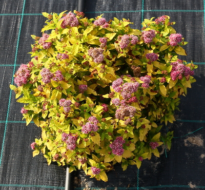 Спирея японская (Spiraea japonica `Double Play Gold`) С 5