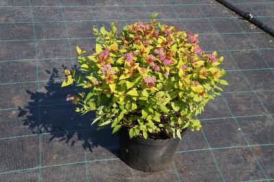 Спирея японская (Spiraea japonica `Magic Carpet`) С5