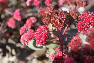 Очиток (Sedum `Red Cauli`) C2-C3