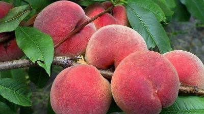 Персик `Донской морозоустойчивый` - Персик